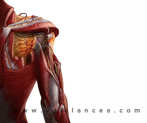 Anatomy sample Vali lancea s32.jpg