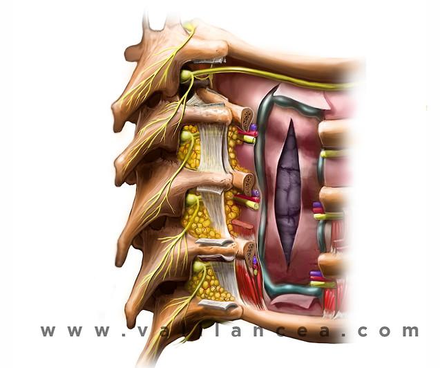 Anatomy sample Vali lancea s20.jpg