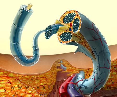 Anatomy sample Vali lancea s15.jpg