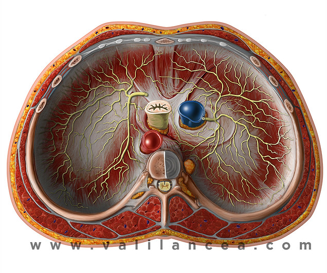 Anatomy sample Vali lancea s26.jpg