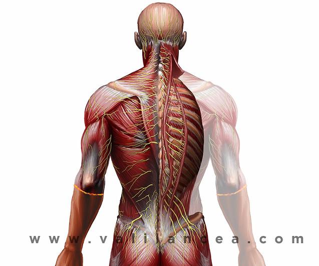 Anatomy sample Vali lancea s17.jpg
