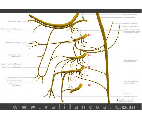 Anatomy sample Vali lancea.jpg
