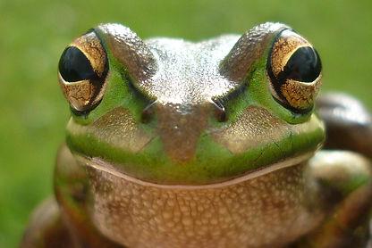 Plenderleith. Bell Frog face.JPG