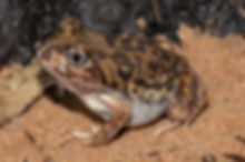 Spadefoot Toad by Geoff Heard