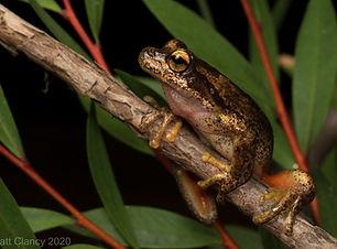 Litoria watsoni NSW.jpg