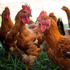 chickens-4009_edited.jpg