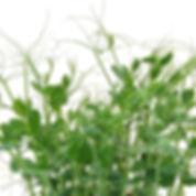 mini-pea-shoots-grown-wm_1400x_edited.jp