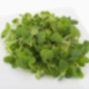 Microgreens_Daikon_Radish.jpg
