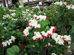 clerodendro