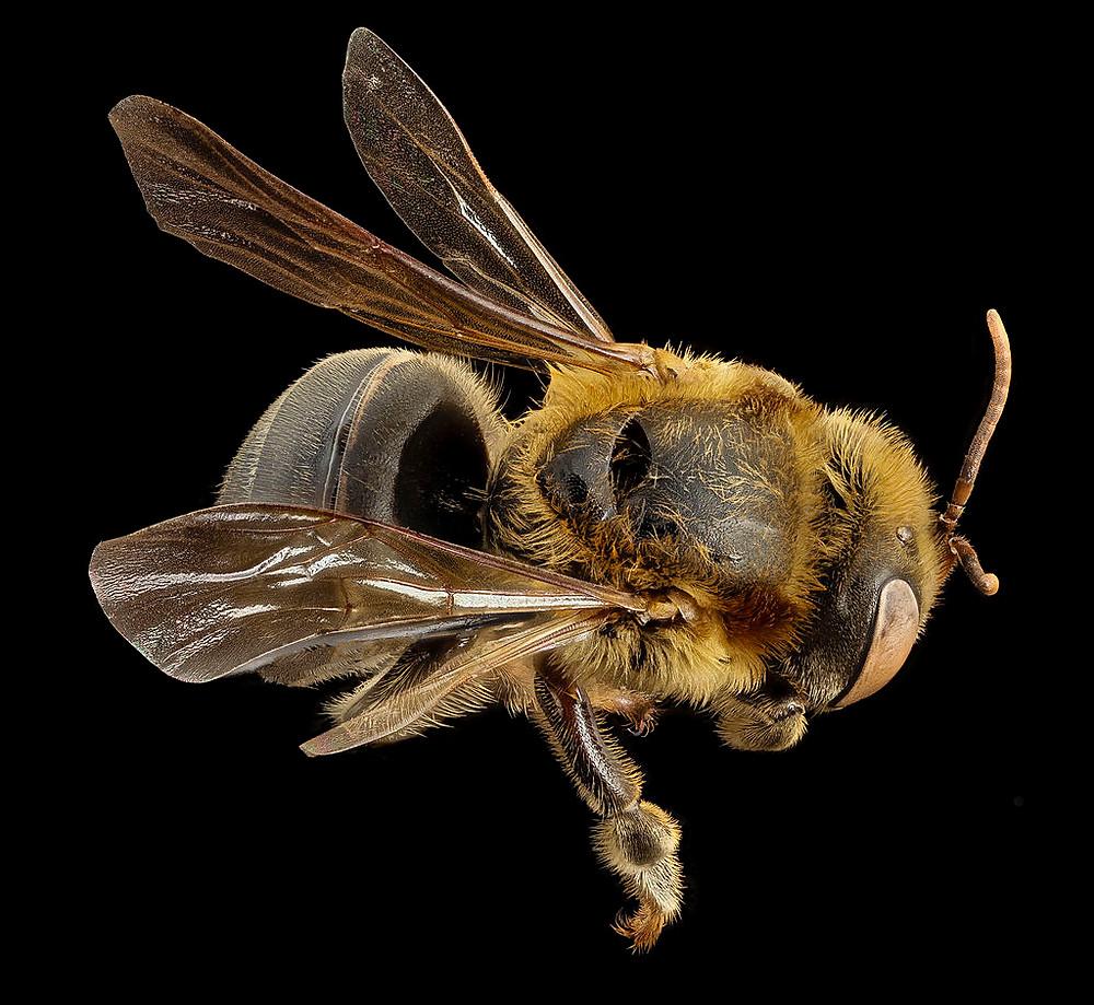 honeybee, bee, book of mormon, book of mormon bee, mesoamerica, singless bee, melipona beecheii