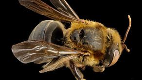 Honeybees in the Book of Mormon