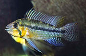cacatuoides-wild_blue-m.jpg