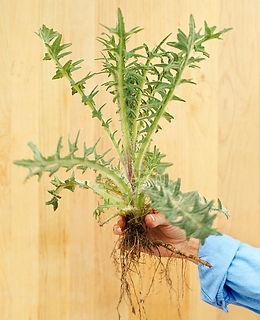 musk-thistle-broadleaf-biennial-weed-det
