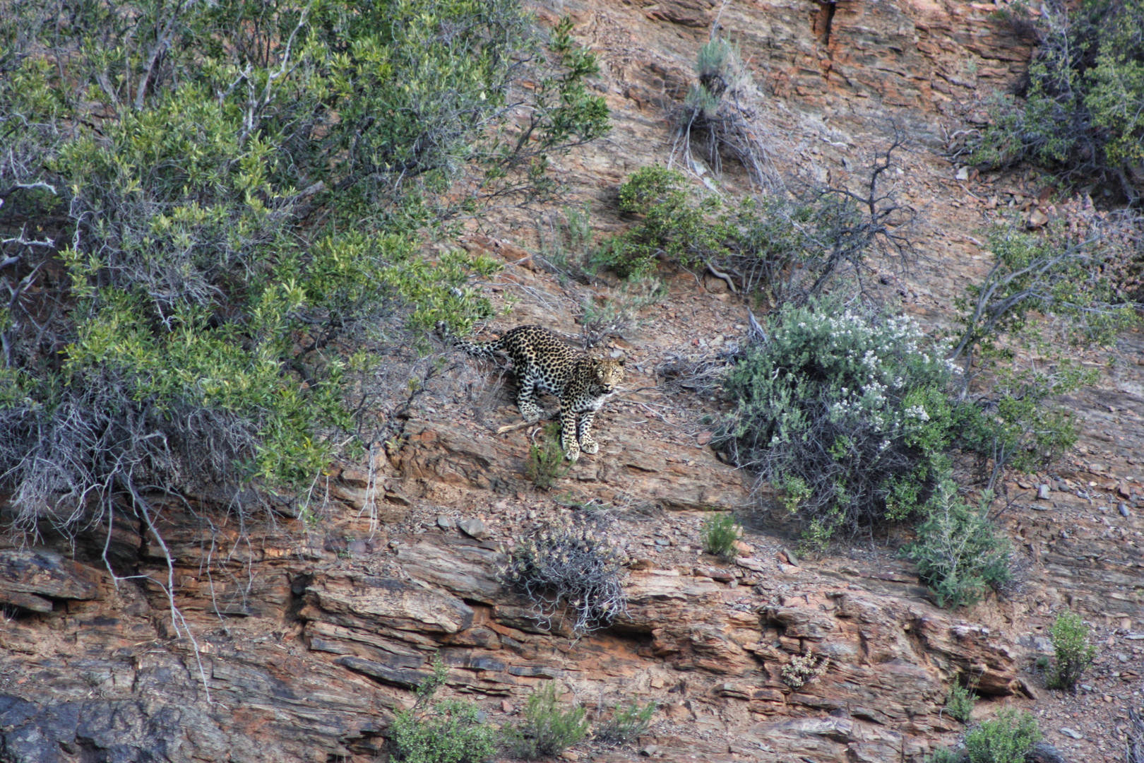 First picture taken of the Leopard during daylight