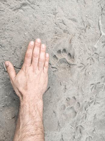 Leopard footprint comparison