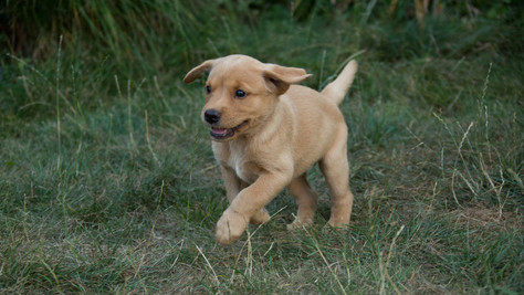 Available yellow labrador puppies