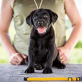 štěně labrador