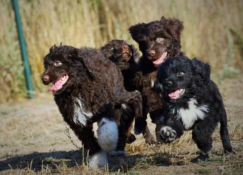 Portuguese puppies available / štěňátka portugalů k odběru