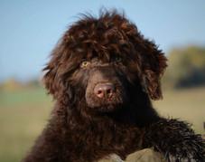 Last male puppy of Portuguese water dog - poslední štěně portugalského vodního psa