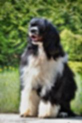 portuglský vodní pes