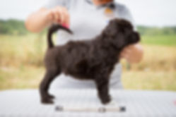 portgaský vodní pes štěně