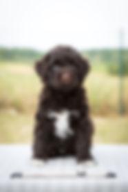 portugalský vodní pes štěně