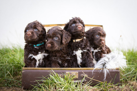 "Litter ""C"" - portuguese water dog"