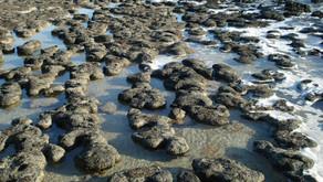 Debemos preservar los estromatolitos, testigos de la evolución del planeta