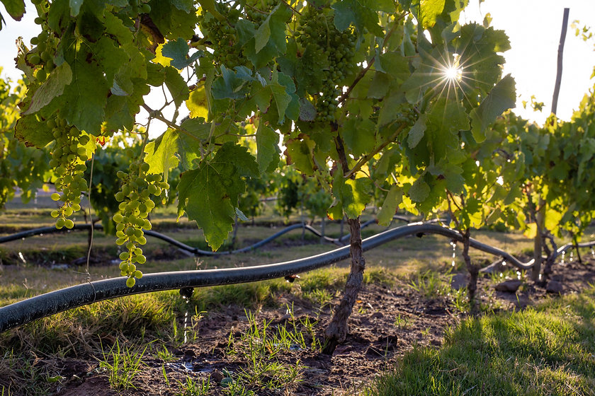 Drip irrigation on a vineyard with the s