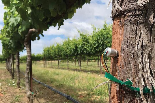 FloraPulse-microsensor-vineyard.jpg