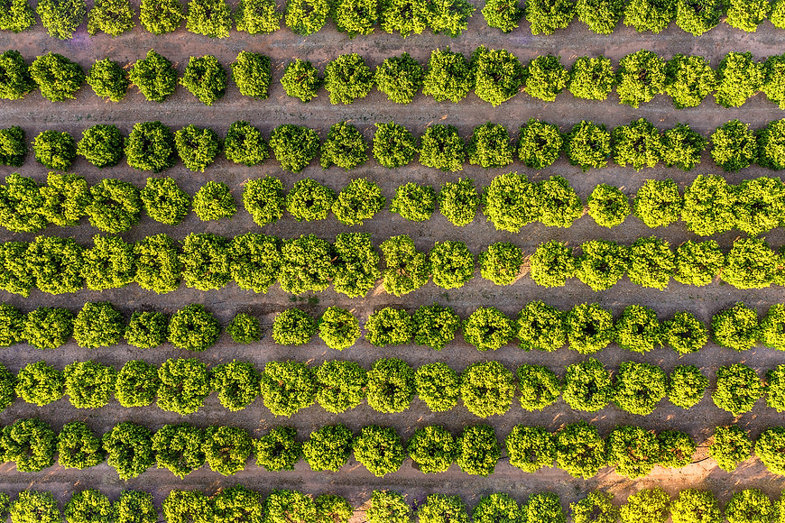 aerial view of a fruit trees plantation,