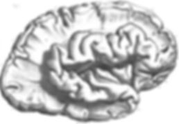 Brain gyri.jpg