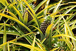 beautiful-pineapple-plant-south-africa-d