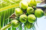 coconut-fruit.jpg