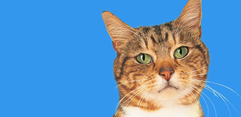 gatto europeo soccorso veterinario c
