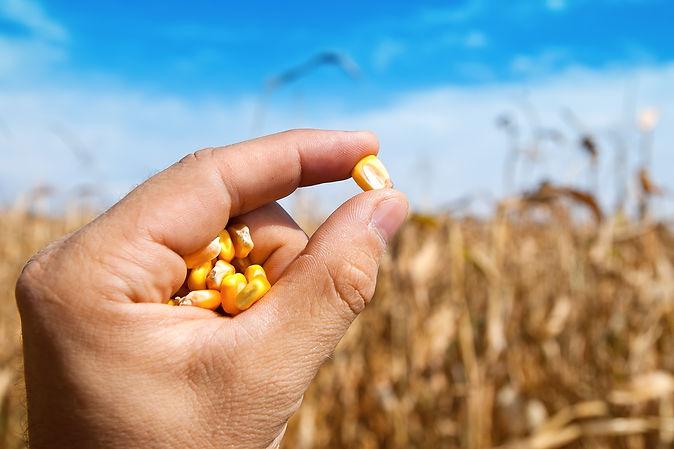 Закупка кукурузы.jpg