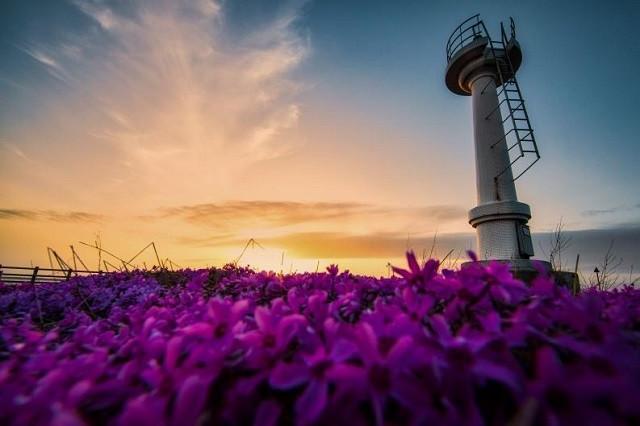 芝桜と灯台(写真:留萌市提供)