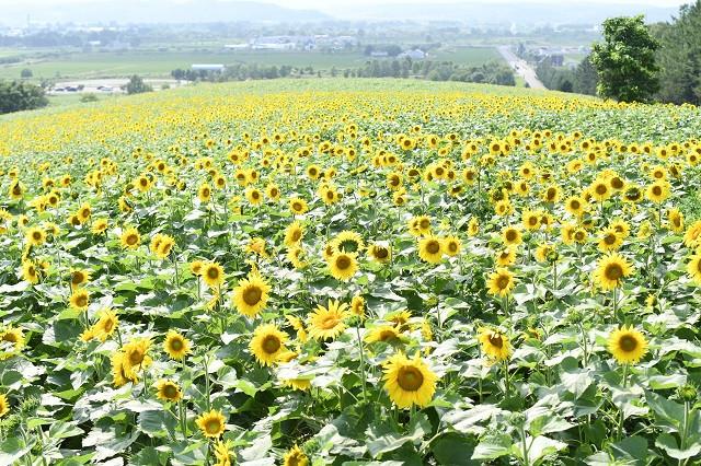 ひまわり畑(写真:名寄市提供)