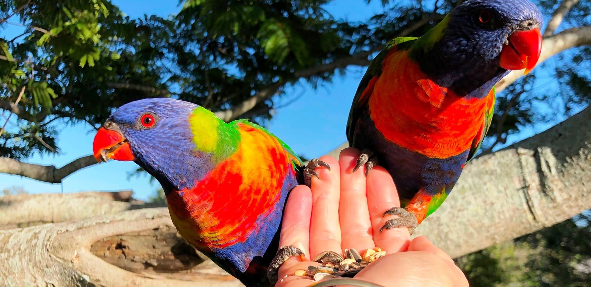 Feeding the Rainbow Lorikeets.jpg