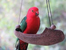 King Parrot at Bilyana Cottages