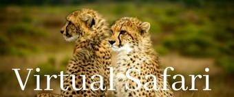 Virtual Safari Cheetahs