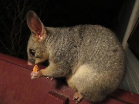 Friendly possum at Bilyana Cottages