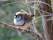 Double Barred finch at Bilyana Cottages