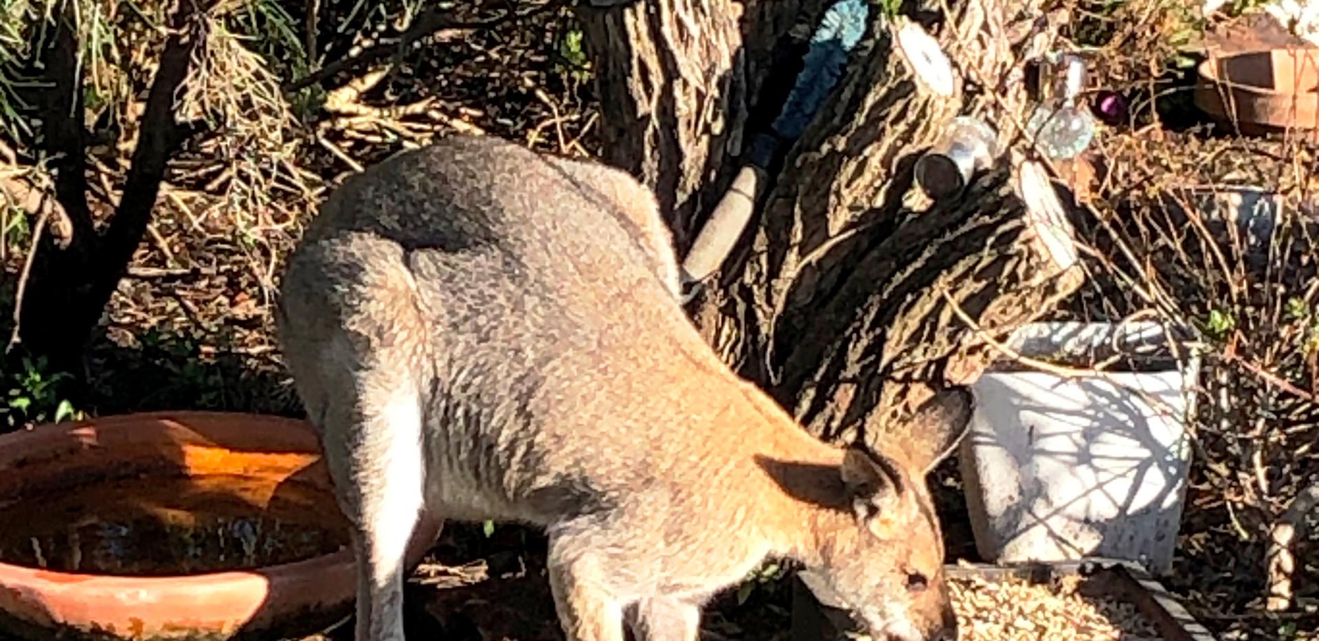 Kangaroos breakfast