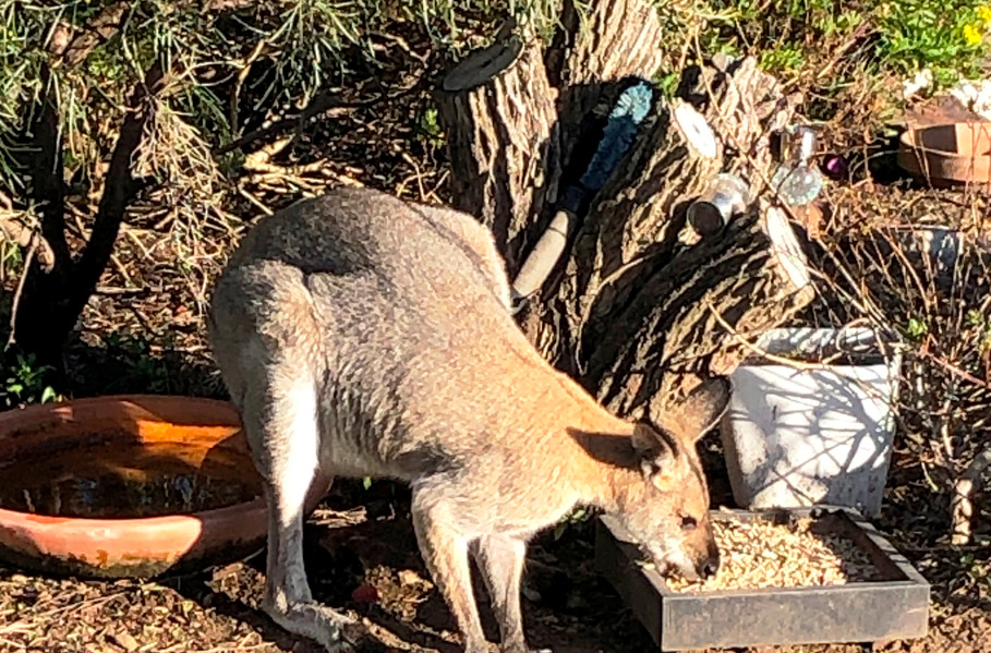 Kangaroos breakfast