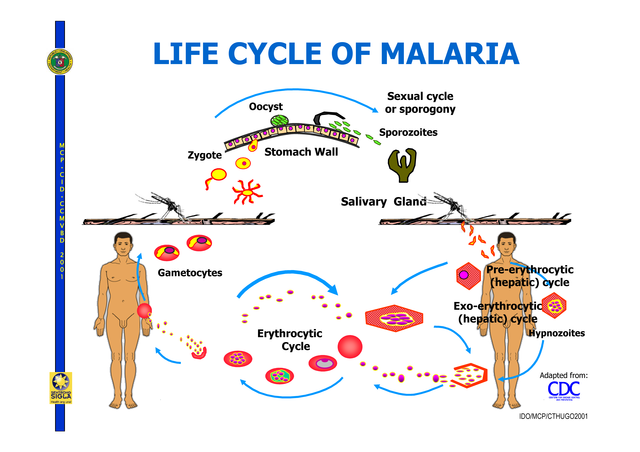 lifecycle_of_malaria_2006_compatibility_mode_3