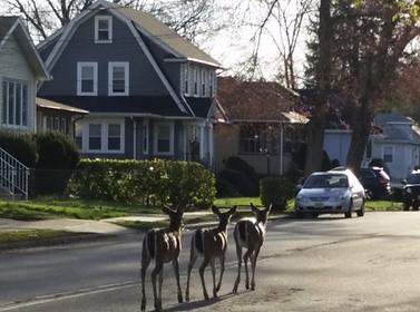 Deer  Bergenfield.png