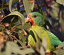 Swift-Parrot-Beau-Meney_WEB.jpg