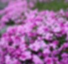 芝桜の花束.jpg