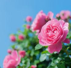 青空と薔薇.jpg